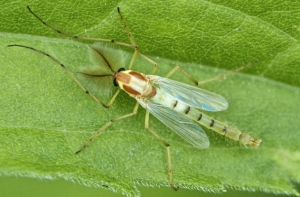 комар-дергун