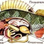 Анатомия и биология рыб