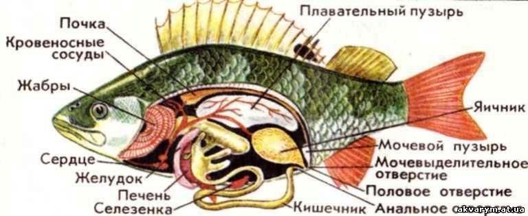 Internal anatomy of a fish