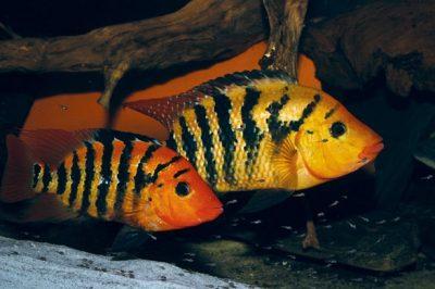 cihlazoma-oranzhevaya