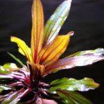Эхинодорус Горемана — Echinodorus horemanii