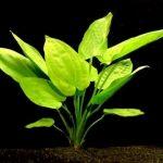 Эхинодорус горизонтальный — Echinodorus horizontalis
