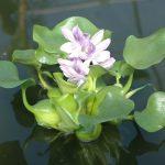 Эйхорния отличная (водяной гиацинт) — Eichhornia crassipes