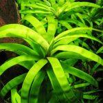Эйхорния разнолистная — Eichhornia diversifolia