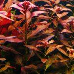 Гигрофила красноватая — Hygrophila spec. «Reddish»