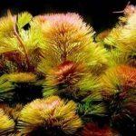 Кабомба прекраснейшая — Cabomba caroliniana pulcherrima