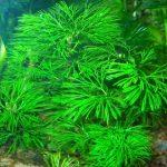 Кабомба спиральнолистная — Cabomba caroliniana tortifolia