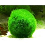 Кладофора шаровидная (эгагропила) — Aegagropily sauteri