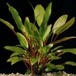 Криптокорина Петча — Cryptocoryne petchii