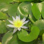 Кувшинка «морская роза» — Nymphaea Daubenyana