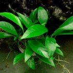 Лагенандра яйцевидная — Lagenandra ovata