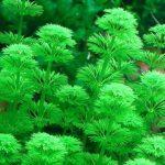 Лимнофила сидячецветковая — Limnophila sessiliflora