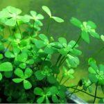 Марсилия четырехлистная — Marsilea quadrifolia