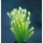 Майака речная — Mayaca fluviatilis