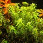 Пеплис (бутырлак двухтычинковый) — Peplis diandra