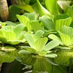 Пистия (водный салат) — Pistia stratiotes