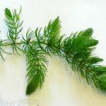 Роголистник темно-зеленый — Ceratophyllum demersum