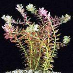 Ротала круглолистная — Rotala rotundifolia