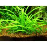 Стрелолист карликовый — Sagittaria
